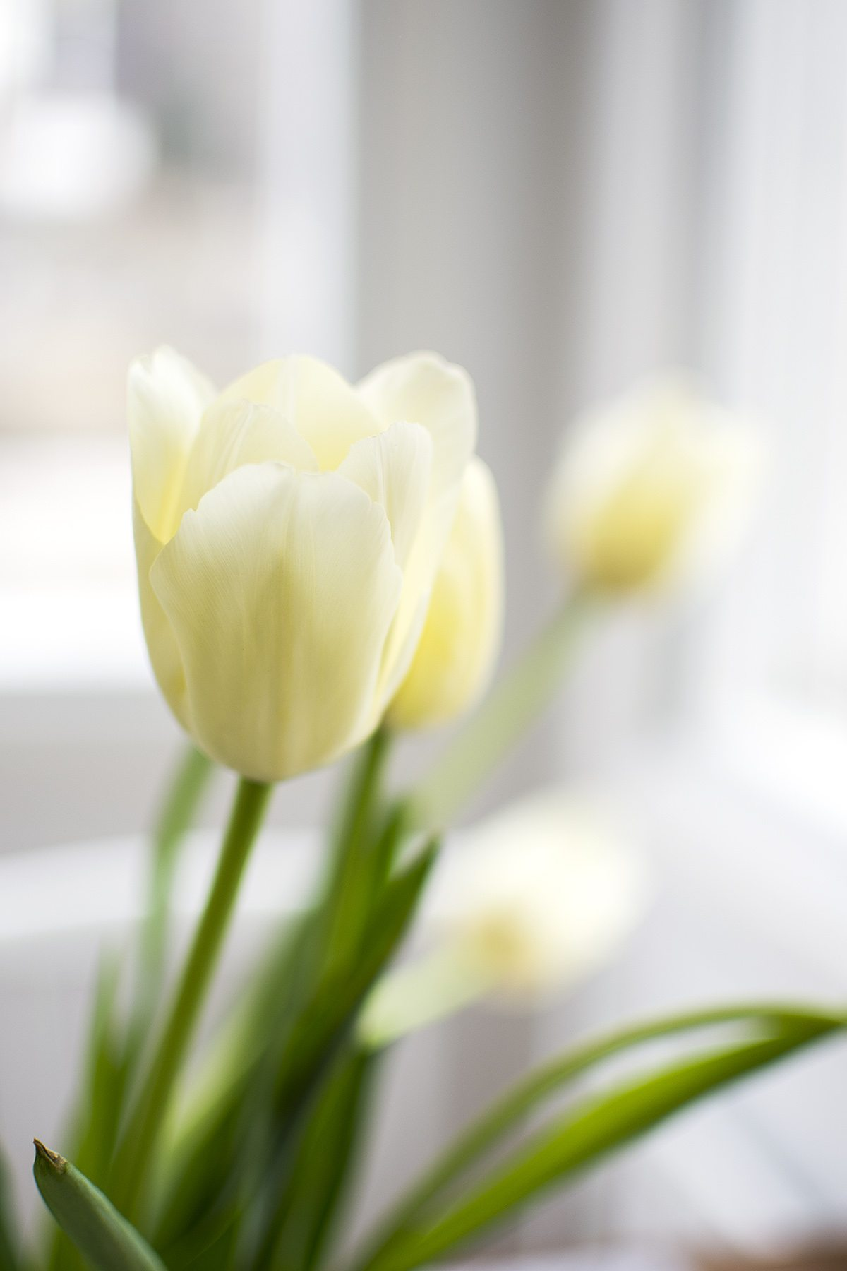 Franska tulpaner – foto Maria Soxbo/husligheter