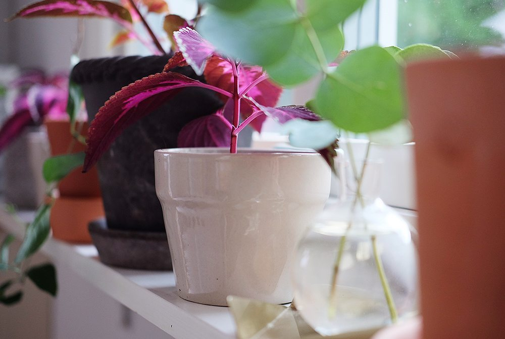 Palettblad stickling i kruka Orädd från IKEA – Husligheter