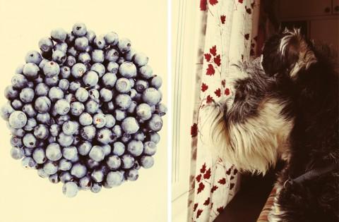 Jag passade på att plocka en halvliter blåbär att ta hem, så nästa blåbärspaj blir the real deal. Rufus höll koll så att inte småfåglarna utanför fönstret hittade på något ofog.