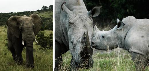 Stora jättar som hördes komma på långt håll och passerade nära, nära. Och så det minsta ljuder av alla, ett pyttegny från en noshörningsunge som hellre ville dia än äta gräs.