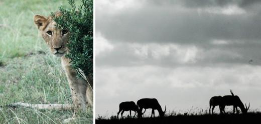 """Till slut var det bara resans slutpunkt kvar – safarin. Ljuvligt tysta nätter i lodgen, tidiga morgnar i landrovern och ofattbart nära möten med fyra av """"the big five"""". Lillen till vänster är en av dem, även om han behöver växa på sig lite."""