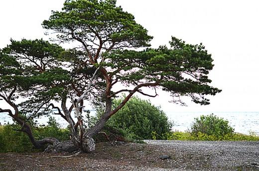 Mitt favoritträd vid stranden.