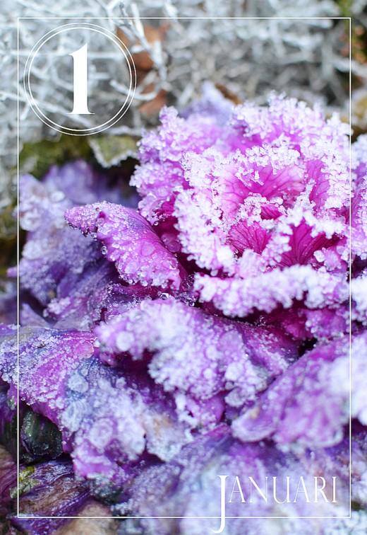 Frostig nyårsdag i trädgården. Alla foton: Maria Soxbo/Husligheter