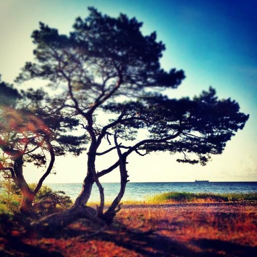 Mitt favoritträd i hela världen, vid stranden nära vårt hus. Alla foton: Maria Soxbo/Husligheter