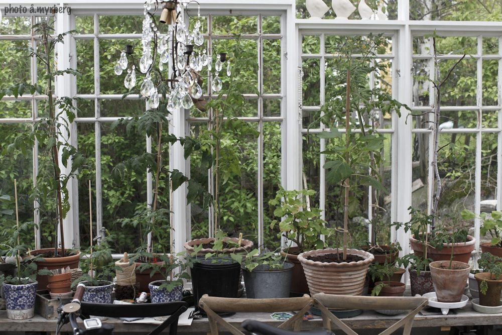 Tomatplantor orangeri – Husligheter