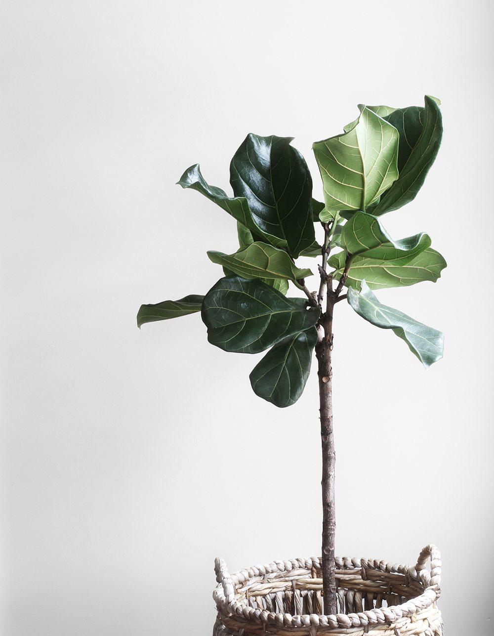 Fikonträd i korg – Lauren Mancke/Minimography – Husligheter