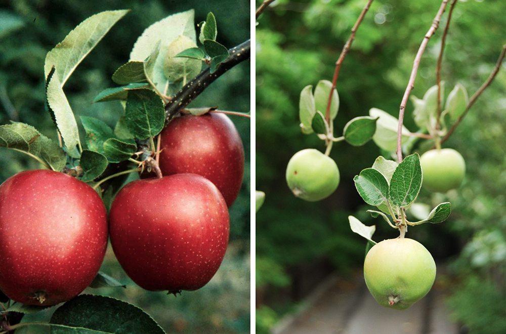 Äpplen – Zetas – Husligheter